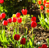 Colourfull tulips Stock Photography