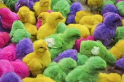 Colouring chicks Royalty Free Stock Photos