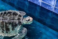 Colourless Sea Turtle. A sea turtle who naturally has very little colour on its body except its beak and some browns mixed in with black and gray royalty free stock photos