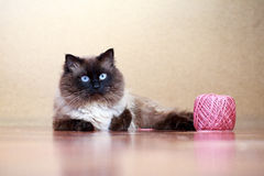 Colourpoint cat Royalty Free Stock Image
