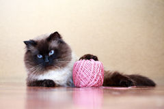 Colourpoint cat Royalty Free Stock Images