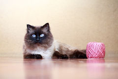 Colourpoint cat. With pink ball of yarn Royalty Free Stock Image