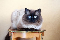 Colourpoint cat. Sitting on antique table stock image