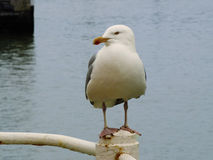 Colourringed gull. Looking, white, Oostende Stock Image