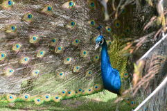 Colours in all eyes of a peacock Royalty Free Stock Photography