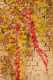 Colors of autumn on old brick wall in Europe. Red, green, orange, yellow leaves of plant in autumn on morning sun on brick wall Royalty Free Stock Images
