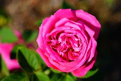 Purple rose in blossom royalty free stock photography