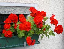 Colours of Italy geraniums Royalty Free Stock Photos