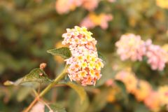 Colours of Lantana flower in the Himalayas mountain. It`s a picture of a centuries old tree in the Haripur, Hazara region, truly artistic. Different colors of royalty free stock photography