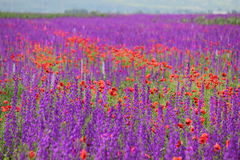 Colours of nature - Field of Poppies and Purple Flowers Royalty Free Stock Photos