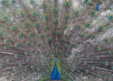 Colours of peacock Stock Image