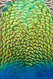 colours påfågelplumage vibrerande Arkivbild