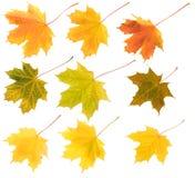 colours różnego odosobnionego liść klonu set Zdjęcia Royalty Free