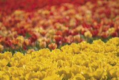 Colours of Spring. Telephoto view across field of tulips with vibrant colours, shallow DOF within yellow ones stock photos