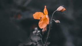 Colove anaranjado de la flor metrajes