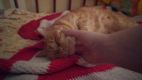 Colpi umani un gatto rosso che aggrotta le sopracciglia con piacere stock footage