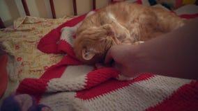 Colpi umani un gatto rosso che aggrotta le sopracciglia con piacere video d archivio