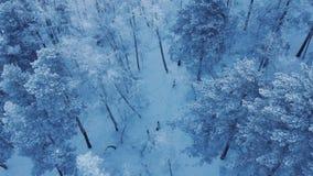 Colpo aereo di un gregge dei cervi selvaggi nella foresta siberiana archivi video