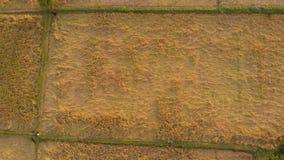 Colpo aereo di una risaia pronta per il raccolto, essendo ispezionando dall'agricoltore in un villaggio rurale in India vista sup video d archivio
