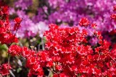 Colpo alto vicino dei cespugli rossi e porpora in fioritura ai giardini giapponesi fotografia stock
