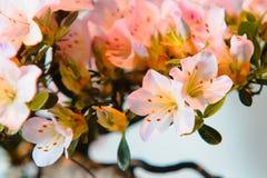Colpo alto vicino dei fiori rosa in fioritura su un albero dei bonsai immagine stock
