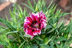 Colpo alto vicino del fiore rosso e bianco di rosa, di colore della miscela del dianthus con i germogli fotografia stock libera da diritti