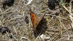 Colpo alto vicino della farfalla arancio che si siede sulla terra vicino al gelso video d archivio