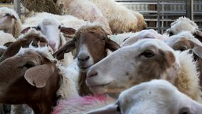 Colpo alto vicino di attesa delle pecore della latteria stock footage