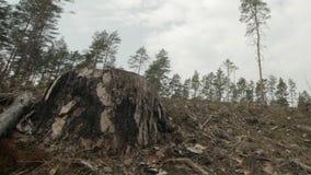 Colpo alto vicino di singolo troncone dell'albero in un'abetaia tagliata stock footage