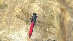 Colpo alto vicino di un elegantissima di Lyriothemis, una libellula rossa su una roccia video d archivio