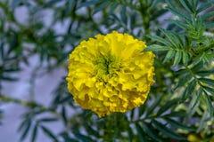 Colpo alto vicino di un fiore giallo del tagete con fondo verde immagine stock