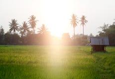 Colpo autentico del riso dell'azienda agricola verde del giacimento in TAILANDIA Fotografie Stock