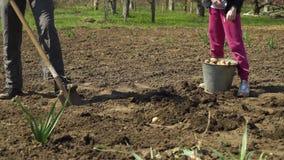 Colpo basso dell'agricoltore e sua figlia che lavora al campo e che pianta le patate stock footage