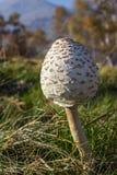 Colpo basso di prospettiva di giovane fungo di parasole Macrolepiota Procera con paesaggio alpino come fondo Fotografia Stock