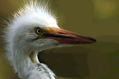Colpo bianco della testa del egret Fotografia Stock