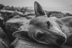 Colpo in bianco e nero estremo di un cane fotografie stock
