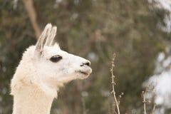 Colpo capo alto vicino di allarme dell'alpaga bianca del lama con le orecchie su nella vista di profilo, produzione di lana Fotografia Stock Libera da Diritti