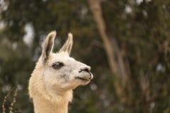 Colpo capo alto vicino di allarme dell'alpaga bianca del lama con le orecchie su nella vista di profilo, produzione di lana Fotografia Stock
