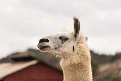 Colpo capo attento dell'alpaga bianca del lama con le orecchie su nella vista di profilo, fine su, produzione di lana Fotografia Stock Libera da Diritti