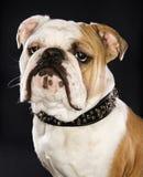 Colpo capo del bulldog inglese. Fotografia Stock Libera da Diritti