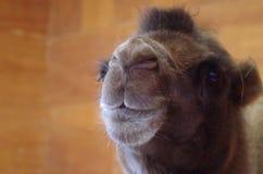Colpo capo del cammello fotografie stock libere da diritti