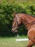 Colpo capo del cavallo che fa dressage Fotografia Stock