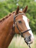 Colpo capo del cavallo nell'anello di manifestazione Immagini Stock