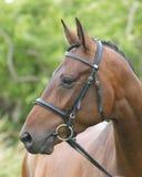 Colpo capo del cavallo nell'anello di manifestazione Immagini Stock Libere da Diritti