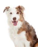 Colpo capo del confine Collie Dog fotografia stock libera da diritti