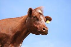 Colpo capo della mucca Immagine Stock Libera da Diritti