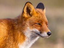 Colpo capo della volpe rossa fotografie stock libere da diritti