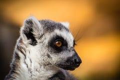 Colpo capo delle lemure Fotografia Stock Libera da Diritti