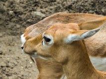 Colpo capo di Buck Deer Female nero immagini stock libere da diritti