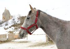 Colpo capo di Gray Horse Immagini Stock